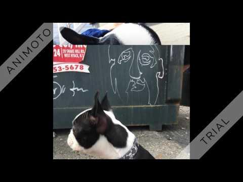 Boston Terrier Puppy Gangsta