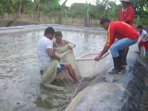 Tanques en geomembrana tilapia roja doovi for Jaulas flotantes para piscicultura