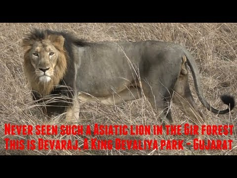 Never seen such a Asiatic lion in the Gir forest | This is Devaraj, A King of Devaliya park Gujarat