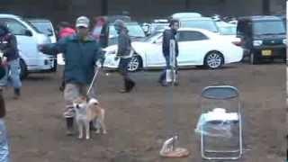 春季開幕戦が八王子で開催、我が家の柴犬「信玄」小型雄部若犬2組に 出...