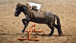 Horse Play: Jack Russell Rides Miniature Horse