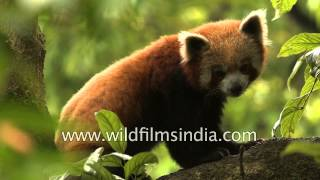 Cute and highly endangered: Sleepy Red Panda in Sikkim