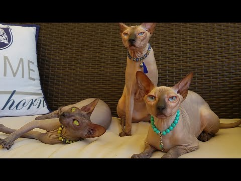 Cute sphynx cat mother with her two daughter's / DonSphynx /