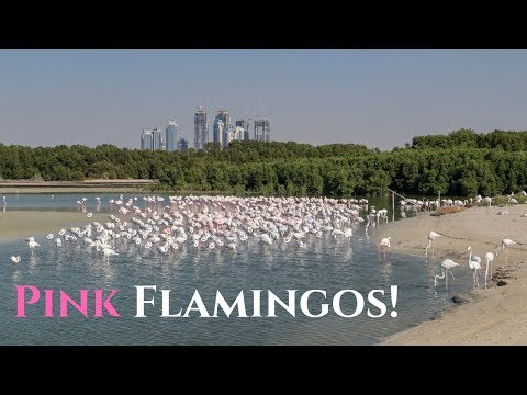 Spotting Pink Flamingos in Dubai! Ras Al Khor Wildlife Sanctuary