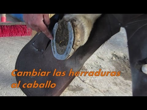 Quitando las herraduras al caballo