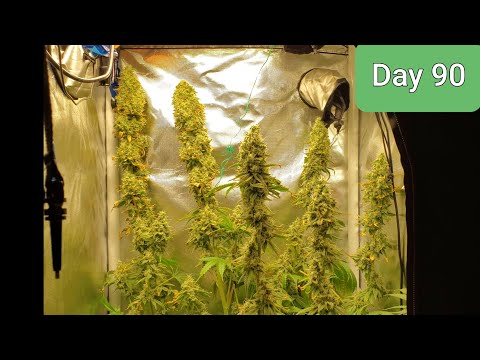 2x2 grow tent ,HALF POUND QUEST!!! Mammoth OG / Do si dos Day 90/ day 60 Flower