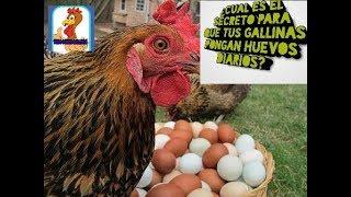 Download Mp3 Secreto , Para Que Tus Gallinas Pongan Huevos , Con Frecuencia