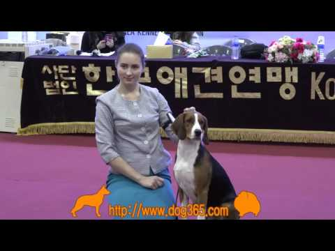 2016.12.04 Seocho FCI International Dog Show(Finnish Hound)