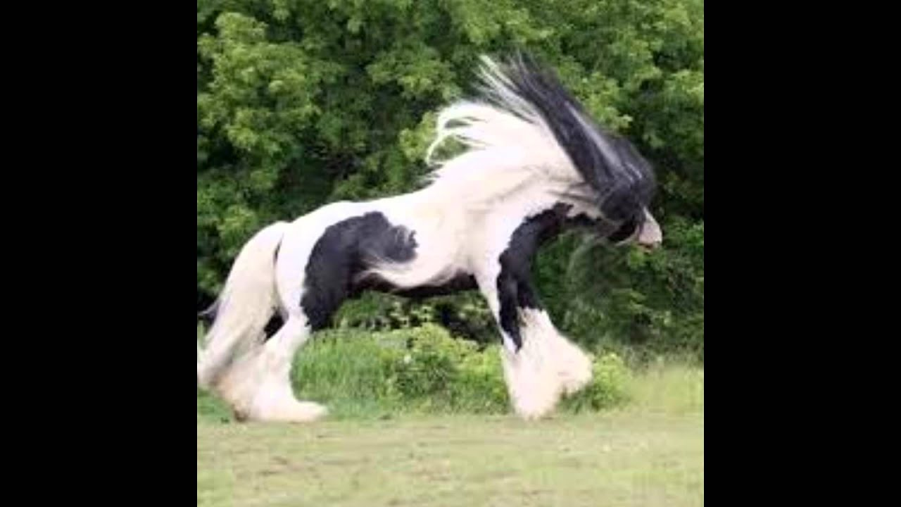 أجمل حصان عربي أصيل في 0