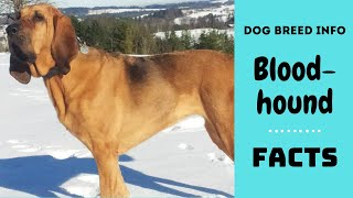 Bloodhound dog breed. All breed characteristics and facts about Bloodhound dogs