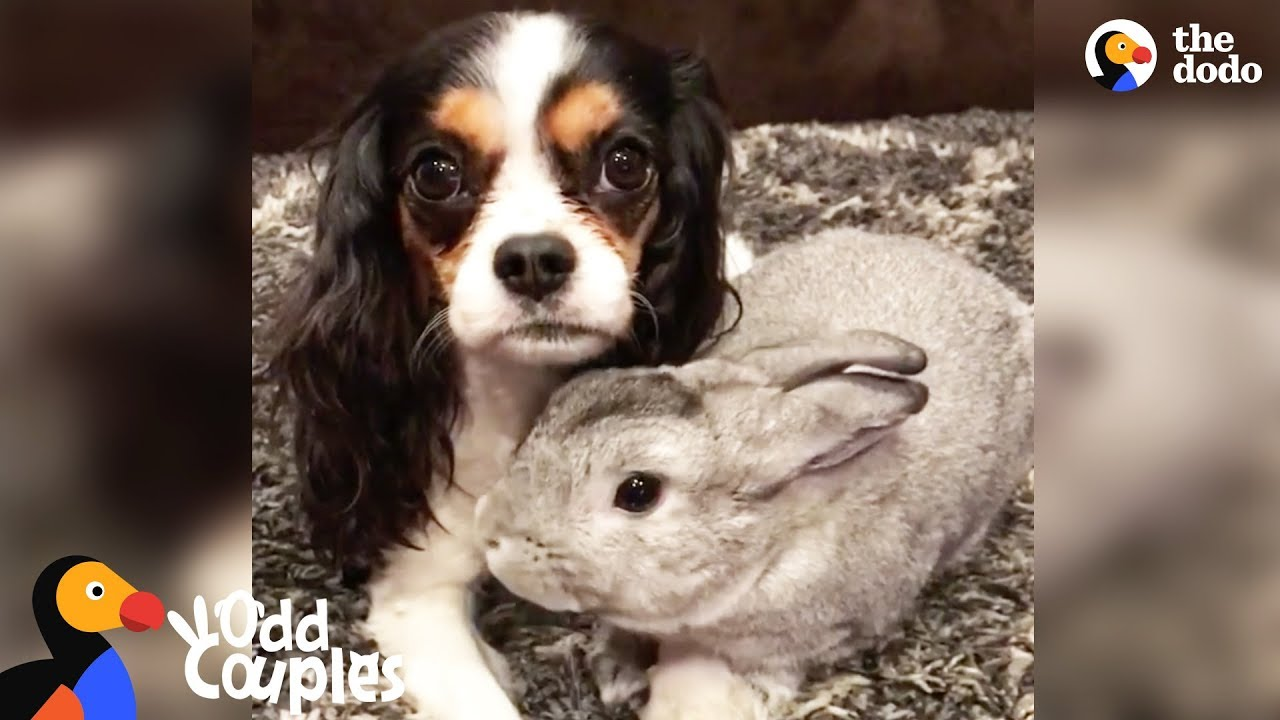 Animal Odd Couples Youtube sick dog gets support from bunny best friend - lola & pepper | the dodo odd  couples
