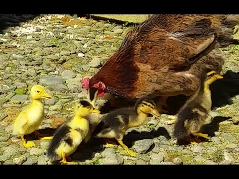 Cute Ducklings Adopted by a Hen - Sweet Animal Videos