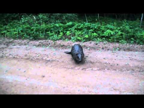 Опасный бобёр))) - видео онлайн
