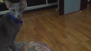 Ориентальная кошка смешно разговаривает
