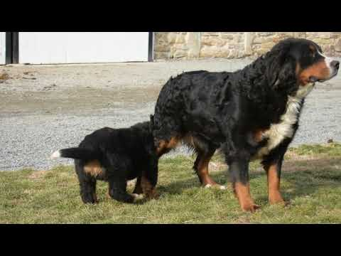 Bernese Mountain Dog Puppies For Sale Daniel King