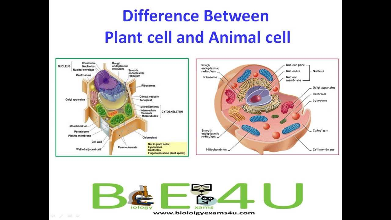medium resolution of 5 Major Differences Between Animal cell and Plant Cell - YouTube