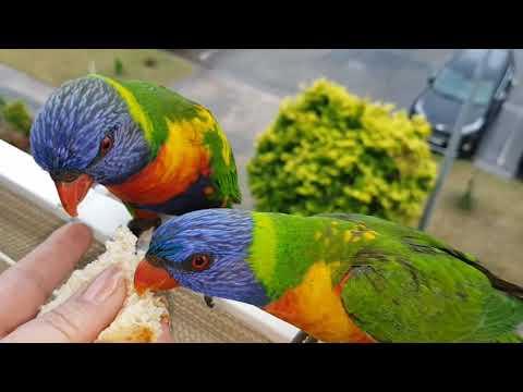 Зима в Австралии .Попугаи Лори прилетели на балкон.Декабрист цветёт.Элла Австралия.