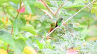 Copper Rumped Hummingbird in Trinidad & Tobago