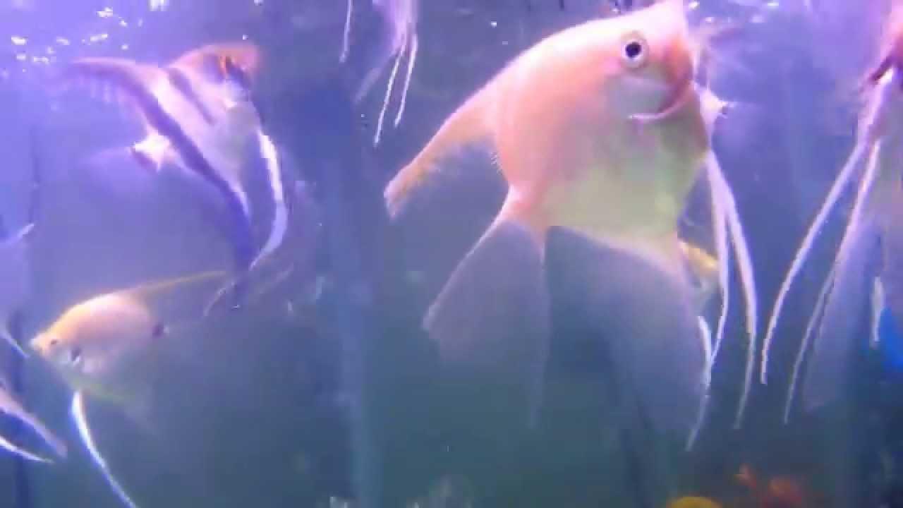 Acuario con peces angel bala tetra pinguino y japoneses - Peces tropicales fotos ...