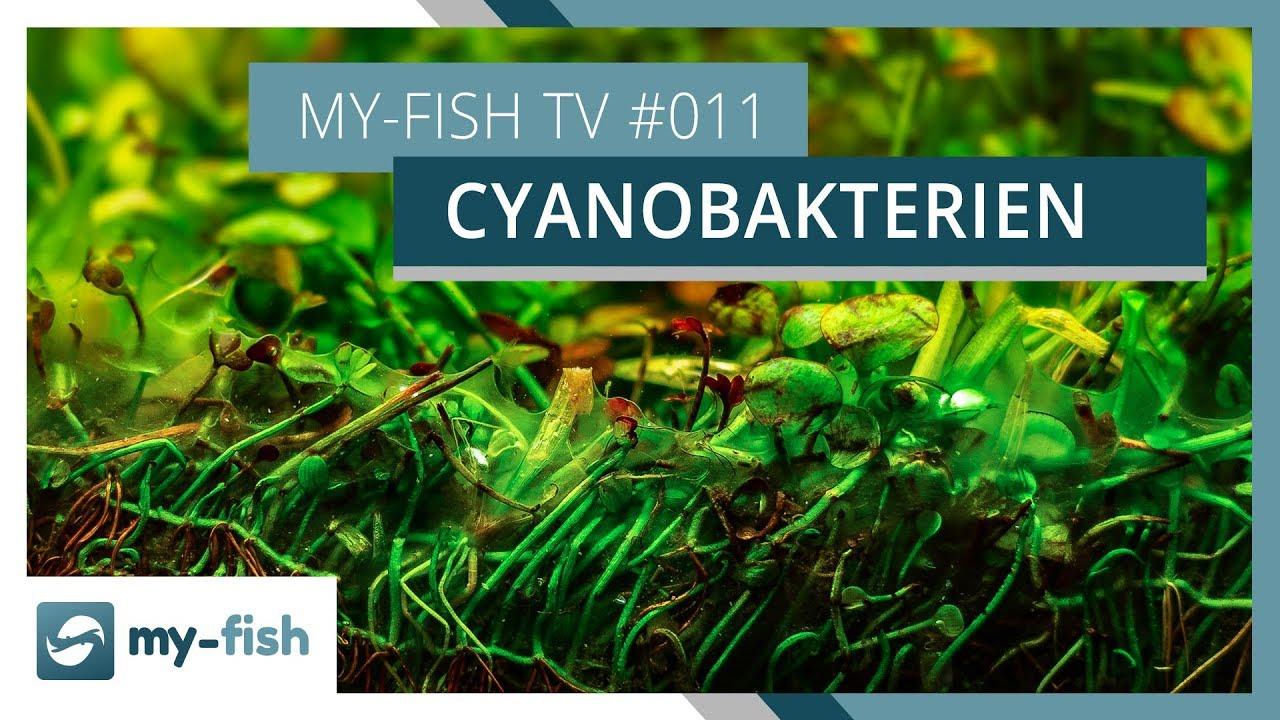 Blaualgen Im Aquarium Wie Du Wirksam Cyanobakterien