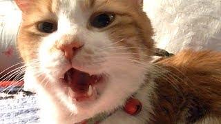 嫌な話の内容が分かる猫!猫の毛割れ問題♥♥猫との会話を楽しむ動画 Conversation with a talking cat thumbnail