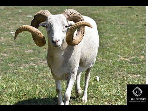 Dall Sheep Hunting Video