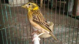 Download Suara Manyar Gacor Isian Lovebird Ampuh Pancing Bunyi Manyar Bahan Muda Hutan Hasil Pikatan