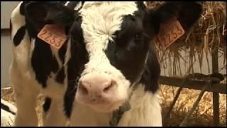 Insolite : Une vache dans son jardin, c'est rentable !