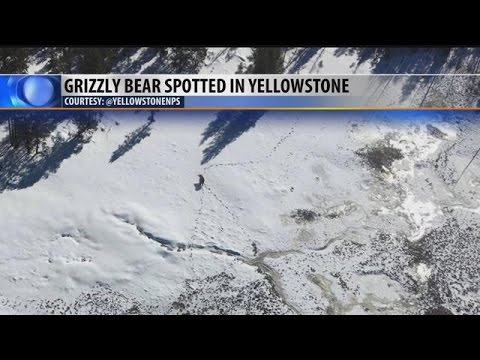 First Yellowstone bear sighted In 2016