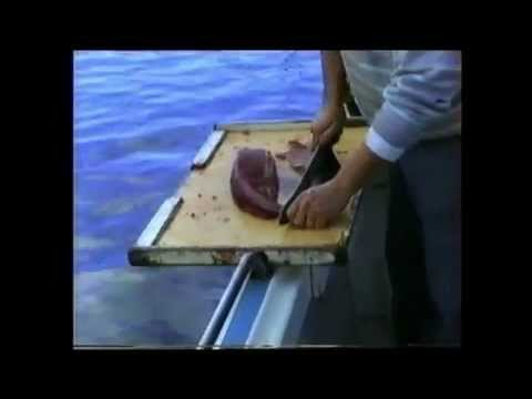 Fishing: Bermagui May 1995 & How to Fillet a Tuna