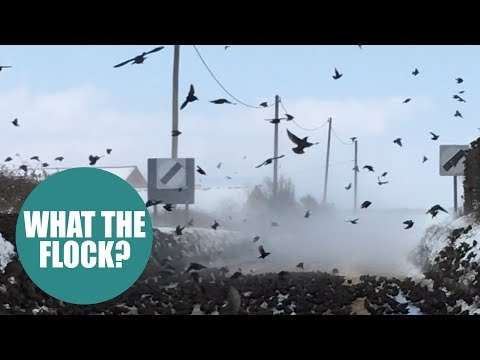 Tens of thousands of starlings take over an entire road