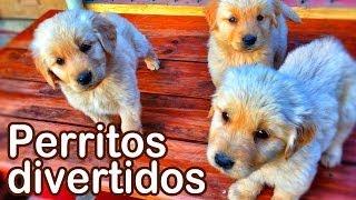 Perritos Divertidos  Animales Juguetones  Videos Infantiles Entretenidos  #