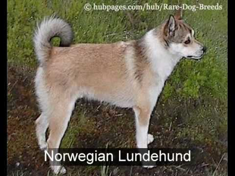 Rare Dog Breeds: Top 10 Rare Dog Breeds