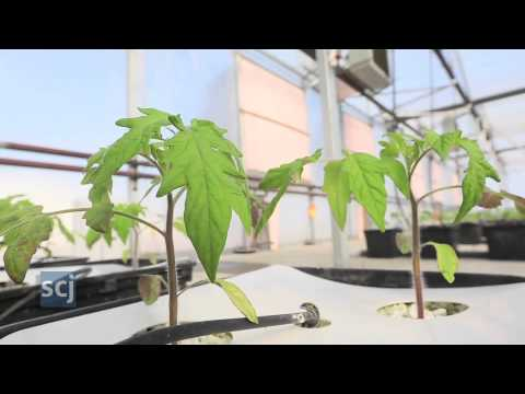 Hydroponic Tomatoes at Cardinal Farms | The Sioux City Journal