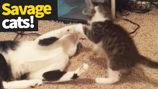 Savage Cats Compilation 2019 - Cats Getting Fiesty