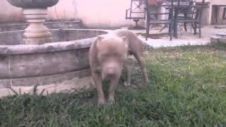 Ukc American Pit Bull Terrier (apbt)