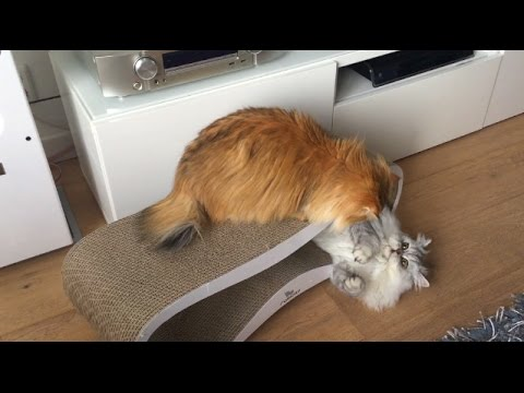 Fluffy Cat Plays With Other Cat's Tail - Smoothie & Milkshake