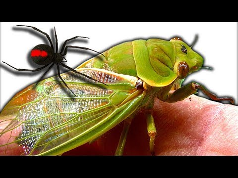 Curious Cicadas Redback Spider Test Tank Spiderlings Escape Emergency
