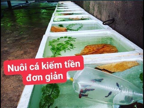 Khởi nghiệp nuôi cá cảnh bằng thùng xốp thu nhập hơn 2 triệu/tháng dành cho học sinh MrMén TV!