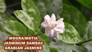 MOGRA/MOTIA/JASMINE PLANT | Mogra की देखभाल | ARABIAN JASMINE PLANT
