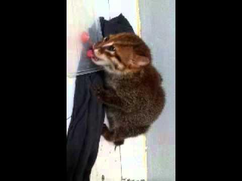 rare flat headed cat found in my room