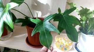Комнатные растения .Мой зелёный уголок .Часть 2 .