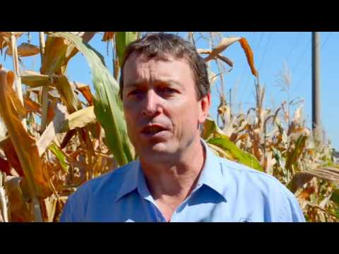 What are the key traits growers want in Pioneer® brand Corn?  - corn silage harvest