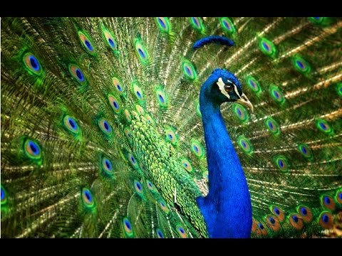 Amazing Facts About Peacocks - YouTube