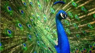 Amazing Facts About Peacocks