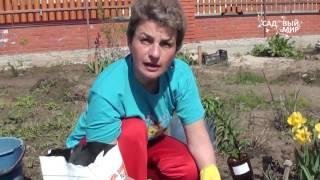 """Как сажать лилии весной. Сайт """"Садовый мир"""""""