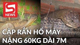 Phát hiện cặp 'rắn hổ mây' nặng 60 kg, dài hơn 7 m ở núi Cấm