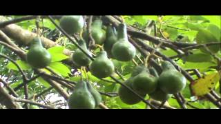Video Profil Desa Sokobanah Laok Samapang Madura