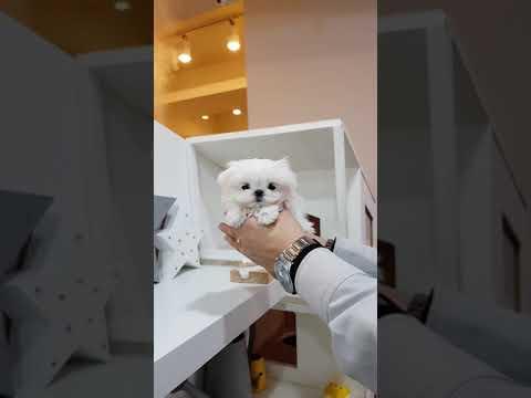 Big eyes maltese in the world beautiful maltese - Teacup puppies KimsKennelUS