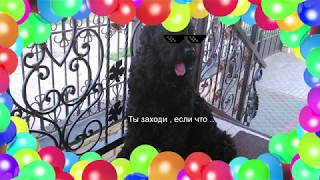 Русский Чёрный Терьер